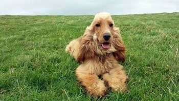Golden cocker spaniel lying obediently on the grass