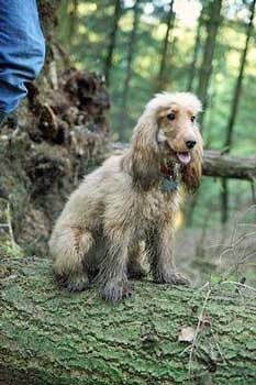 Golden cocker spaniel grubby from running about in the mud