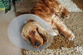 Max, my Cocker spaniel wearing head cone after being neutered - look at those accusing eyes!