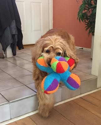 Susie, a beautiful golden cocker spaniel with a colourful soft toy in her mouth
