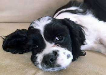 Black and white cocker spaniel puppy, lying on floor