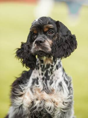 Beautiful American cocker spaniel - is he an alpha dog? No, perhaps not.