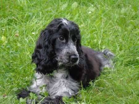 Black, brown, tan and white Cocker Spaniel