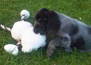 Cocker Spaniel Puppy Playing With Her Toy - Cute!