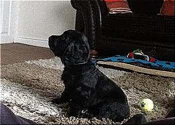 Black cocker spaniel puppy sitting on a shaggy rug.