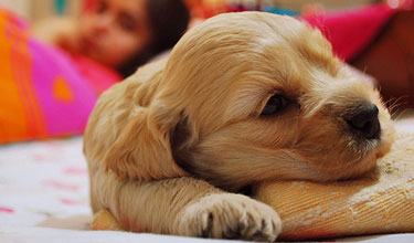 Gorgeous golden cocker spaniel puppy, curled up cosily on a cushion.