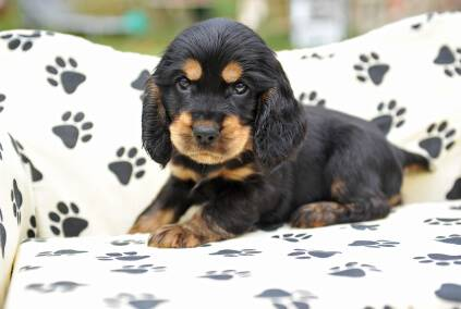 Black and tan cocker spaniel puppy sitting in which dog bed with black paw prints