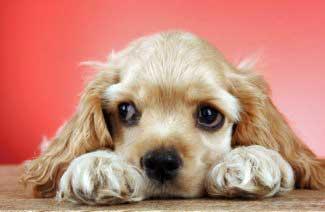 Cute golden cocker spaniel puppy with large dark eyes