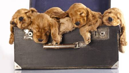 Five cute golden cocker spaniel puppies in an old suitcase