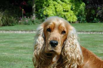 Golden Cocker Spaniel - Just Beautiful!