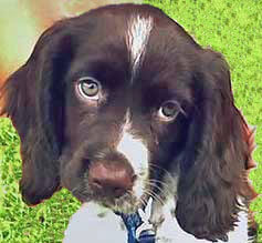 Beautiful chocolate and white cocker spaniel puppy with expressive eyes