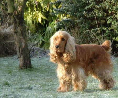 Golden cocker spaniel enjoying a frosty morning in the garden!