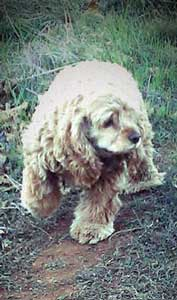 Light golden cocker spaniel on grass