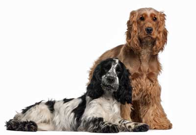 Good Cocker Spaniel training will produce well-behaved dogs!