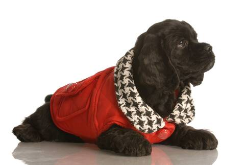 Black cocker spaniel puppy wearing red coat