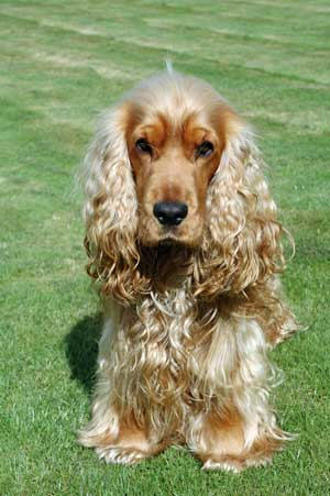 Golden cocker spaniel used to indulge in Coprophagia when he was a puppy, but no longer!