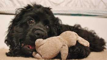 Black american cocker spaniel playing with soft toy