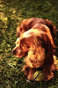 Golden cocker spaniel bathed in the glow of the sun, tennis ball at his feet