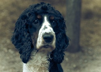 Cocker spaniel with an alert expression
