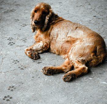 Damp cocker spaniel lying on ground, dog footprints beside him