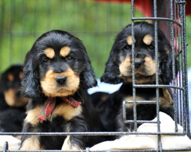 Cocker spaniel puppies looking out from their dog crate, black and tan