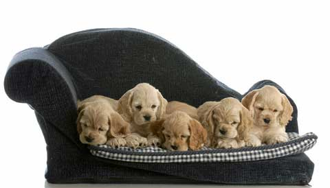 Five golden cocker spaniel puppies lying on a designer dog bed