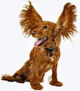 Golden cocker spaniel with ears up in air