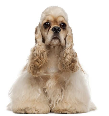 Cute, buff coloured cocker spaniel with big brown eyes. Pink graduated background.