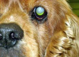 Dog glaucoma is one of the more common eye problems in dogs and can lead to blindness
