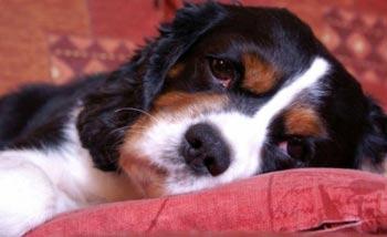 Pendulous Ears Dog Care