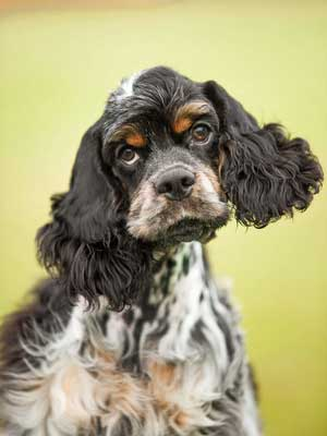 American cocker spaniel with ears swaying gently - gorgeous!
