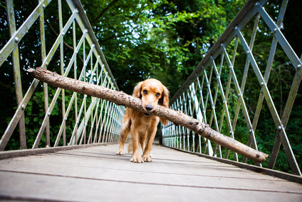 Golden cocker spaniel standing on a bridge with a large branch in his mouth.