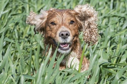 Gorgeous golden cocker spaniel running through wet grass.