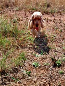 Golden cocker spaniel running across scrubland (chasing a rabbit he's never going to catch!).