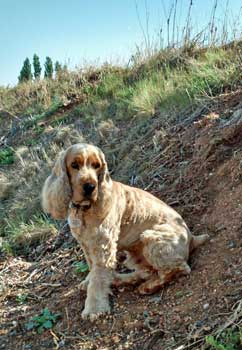 My golden cocker spaniel sitting on bankside, waiting patiently for me to catch up