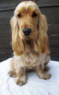 Young, freshly groomed, golden cocker spaniel sitting on a table.