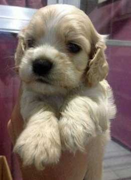 Light golden cocker spaniel puppy held in hands