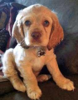 Light golden cocker spaniel puppy with beautiful blue eyes