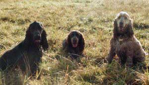 Three alert cocker spaniels sitting in a field