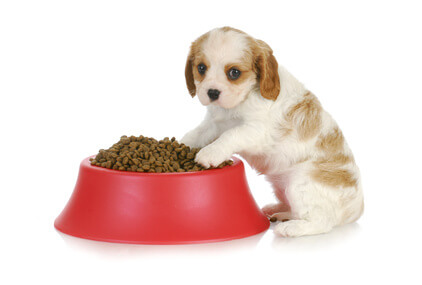 Cute orange and white cocker spaniel puppy with two paws in his red kibble bowl