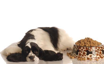 Beautiful black and white cocker spaniel lying by a bowl overflowing with kibble