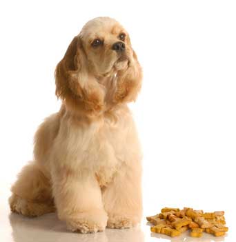 Golden American cocker spaniel sitting by dog treats
