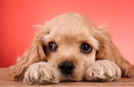 Golden cocker spaniel puppy - cute eyes!