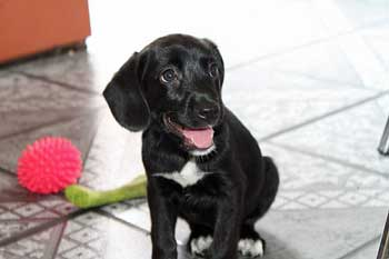 Black puppy playing happily after having flea medication