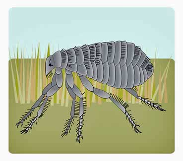 Diagram of a dog flea - you don't want these in your house!