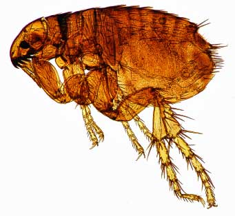Close up of dog flea, you don't want these hopping about in your carpets!