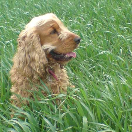 Beautiful gold coloured Cocker Spaniel, lying queitly