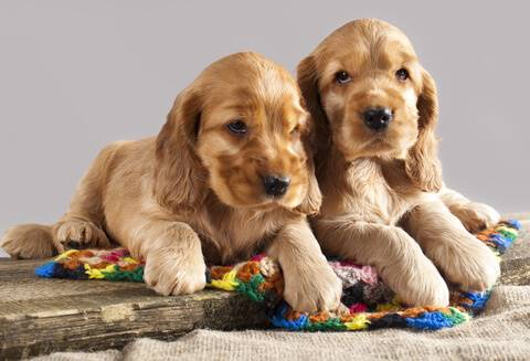 Two golden cocker puppies on driftwood - so cute!