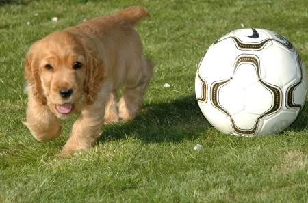 Golde cocker spaniel playing ball!