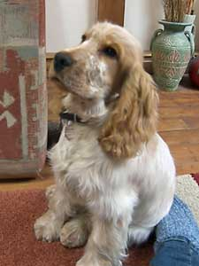 Beautiful Cocker Spaniel Waiting Patiently